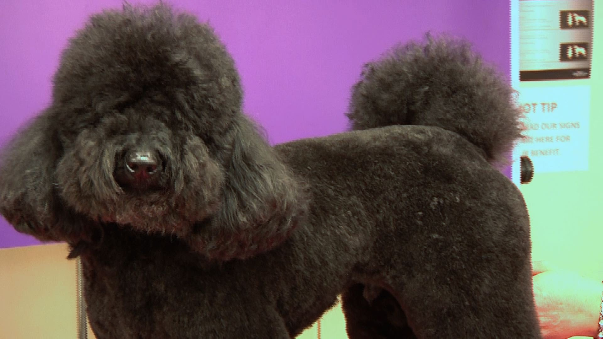 Video Grooming Your Poodle We Love Poodles